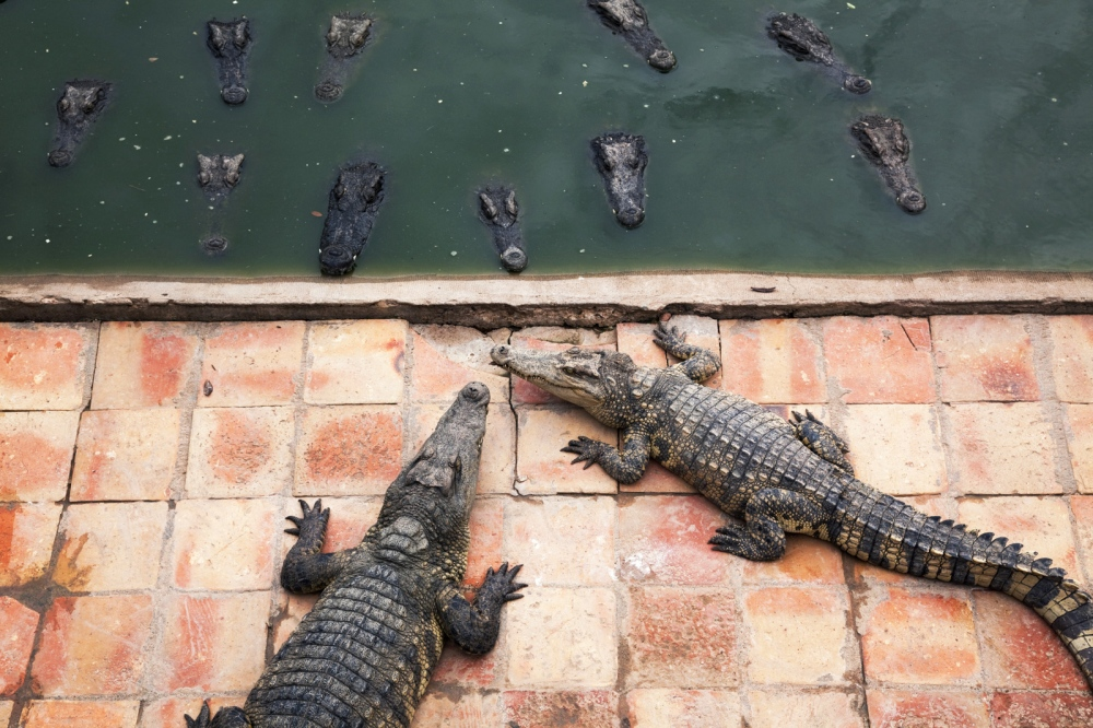 A crocodile farm in the Cambodian province of Kompong Speu. With around 1000 animals occupying only 3 pens, farms like this supply the demand for crocodile skin. Interbreeding hybrids is rampant to increase crocodile sizes.  Kompong Speu - Cambodia