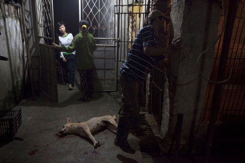 At a dog slaughter house they are kept in cages before being beaten to death. Then their thoats cut, dunked in boiling water and finally smoked on fires of straw.  Hanoi - Vietnam