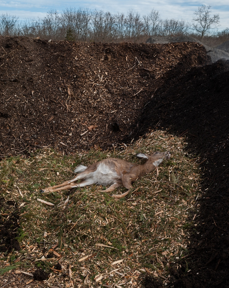 A fawn is laid to rest on a bed of composted Christmas trees.