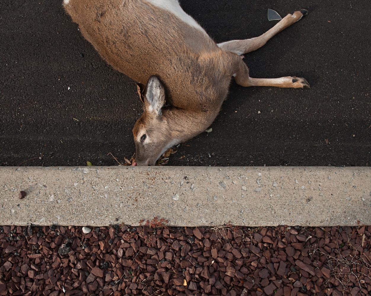 "One of 3 deer found at the scene. Mating season, or ""The Rut,"" occurs in autumn, when buck are in high purusit of a doe."