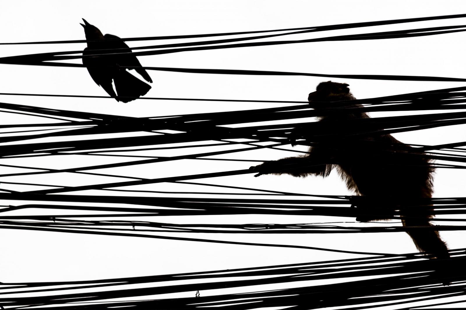 Monkey and Raven. Kathmandu, Nepal.