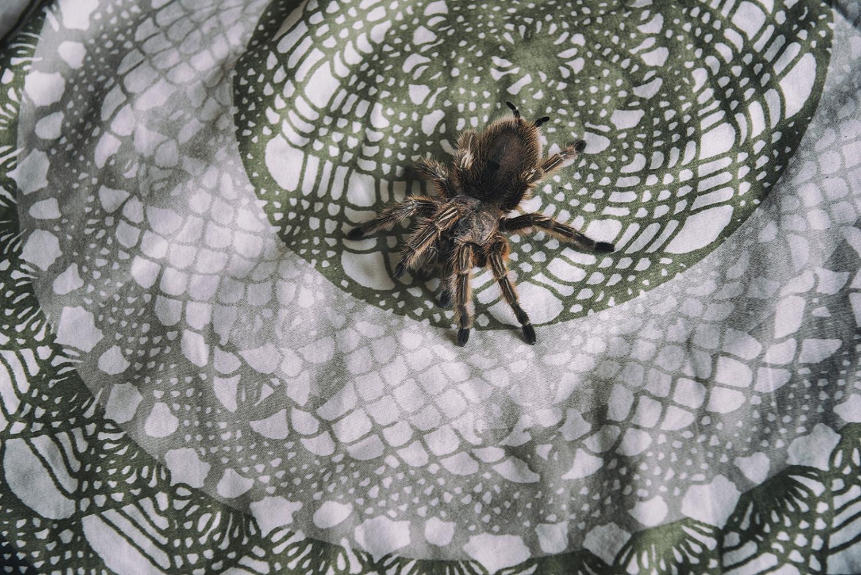 Marco's tarantula, Bergamo, Italy