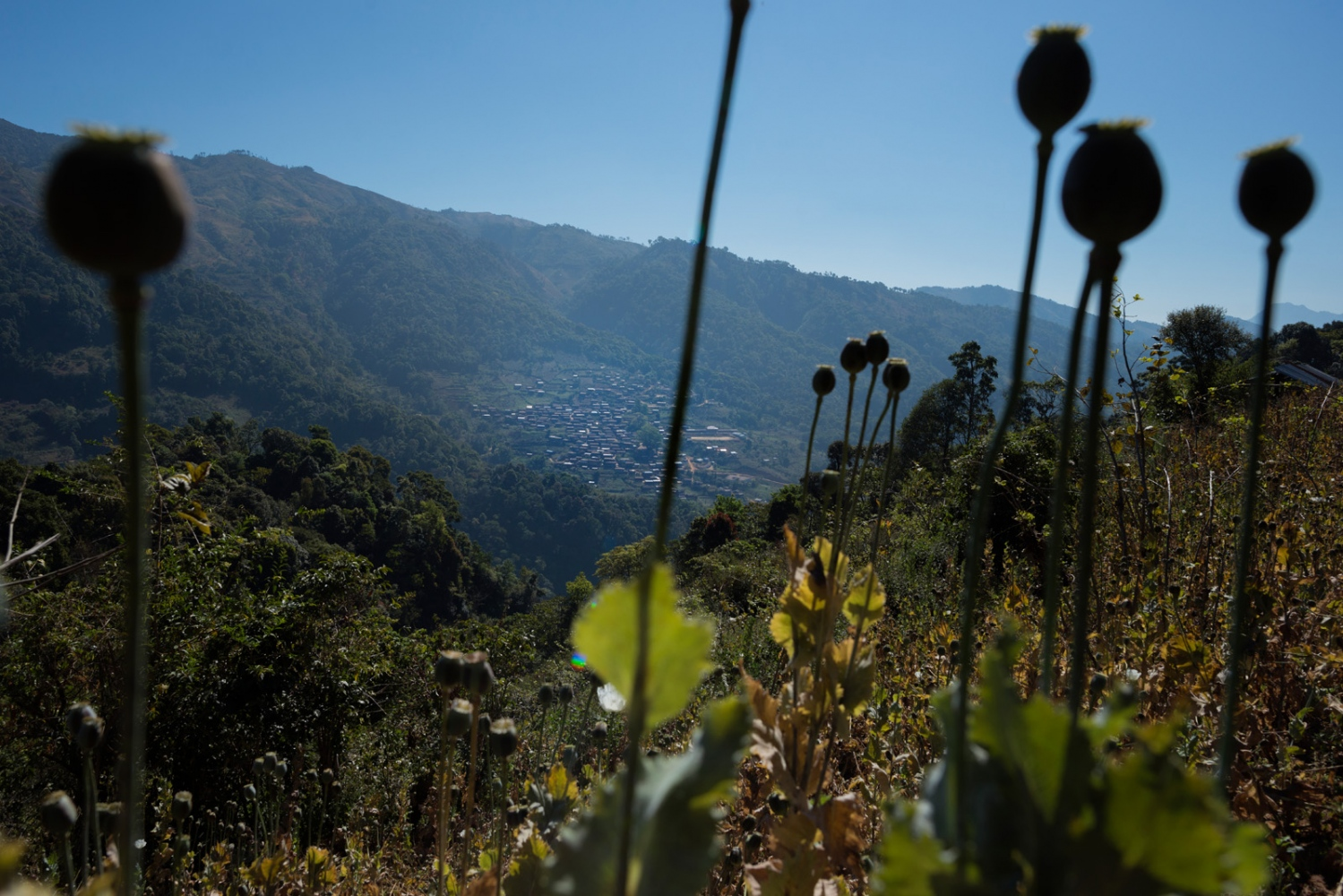 Poppy pods on a mountain side overlooking a village in the mountains of Shan State, Myanmar.