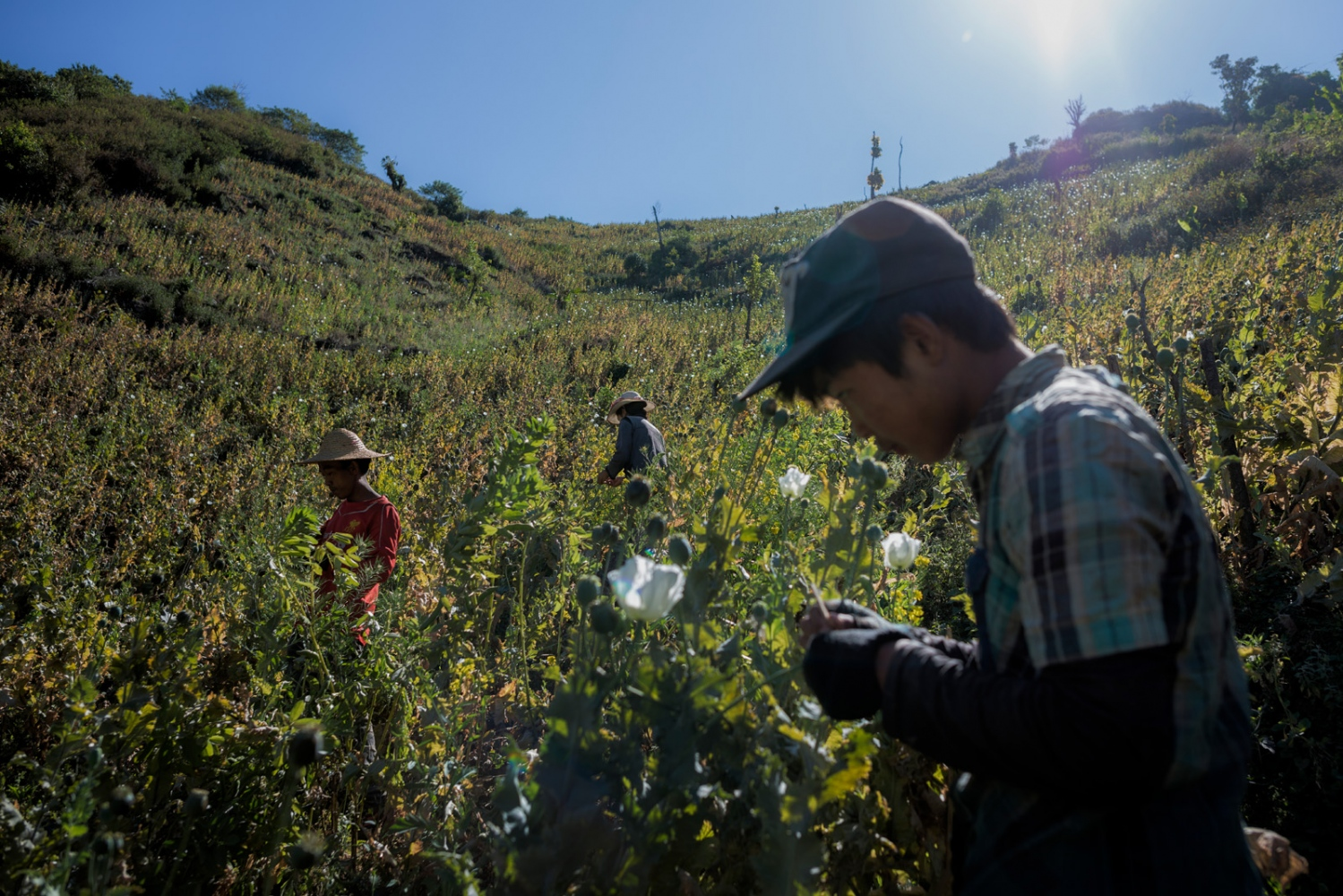 Workers harvesting opium in the mountains of Shan State, Myanmar.