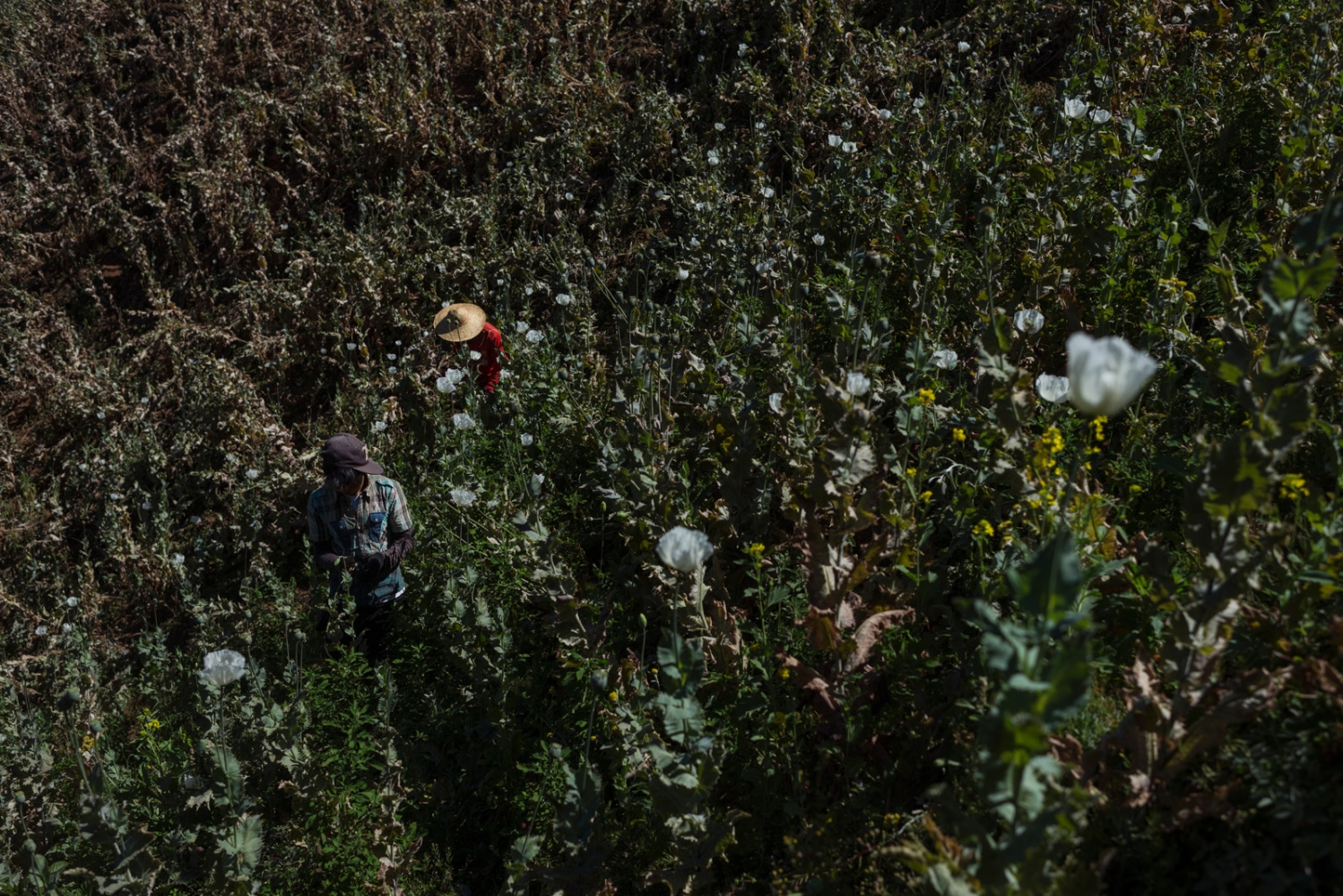 Workers in a poppy filed in the mountains of Shan State, Myanmar.