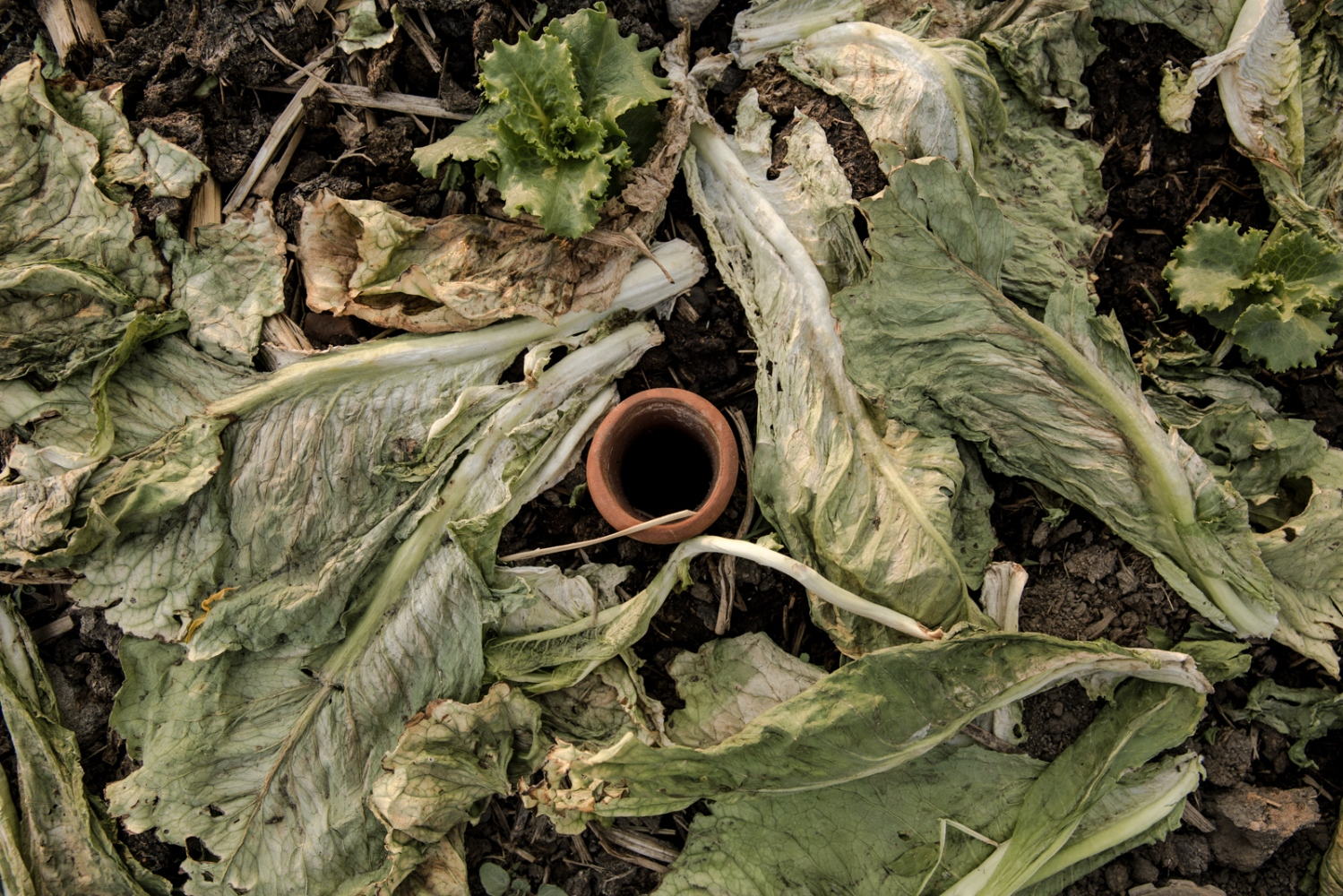 April, 2017. San Andres Cholula. One of the first things I´ve learned was the irrigation system. I talked with Julio an agronomy student who was trying a new technique by using clay pots and filling them with water in order to avoid waste, as well he used vegetables who didn´t make it to the harvest as compost material.