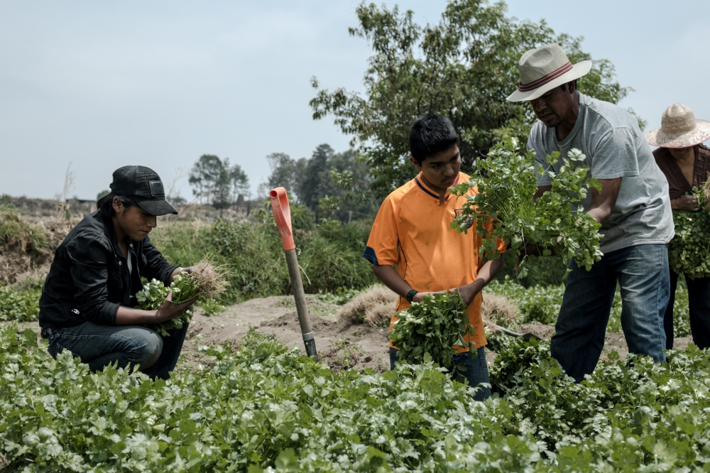 May, 2017 San Luis Tehuiloyucan A couple of teenagers were sent by their mother to help Don Roberto with the harvest of coriander. It is common for younger people in towns seeking to help; you can see the older ones riding their bikes, looking to work for some extra pesos.