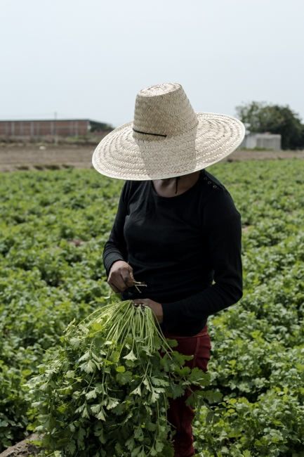 May, 2017 San Luis Tehuiloyucan One of the daughters of Don Roberto helps with the harvest. Agriculture in Mexico is a family business, you need all the help you can get so the harvest doesn´t turn out bad.