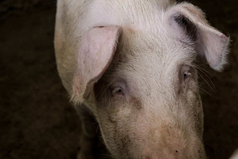 March, 2017 San Luis Tehuiloyucan Every animal they grow is for personal consumption; this beautiful pig was being grown for a baptism happening in May.