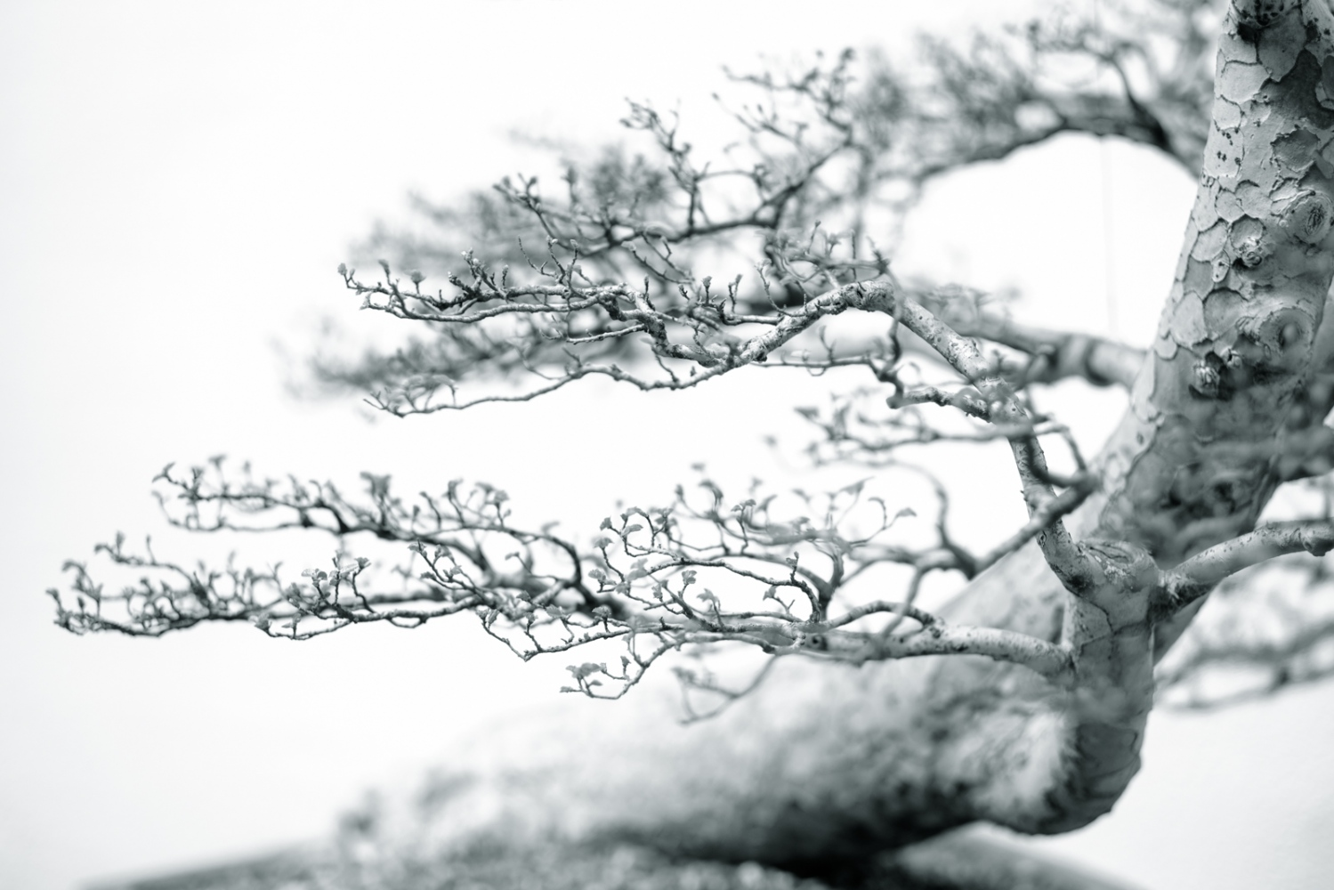 Portrait of a Bonsai Tree. The US National...