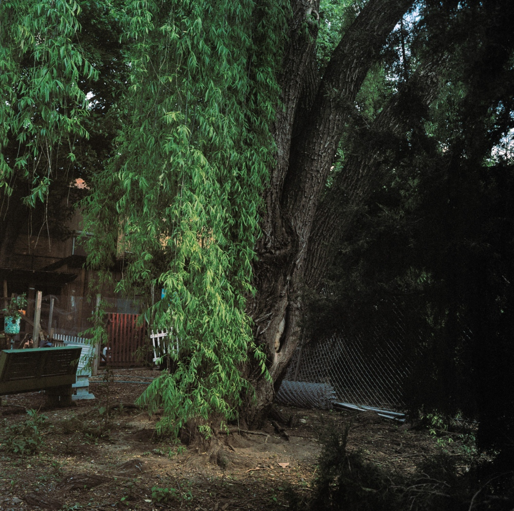 May 17, 2017 - Brooklyn, New York City, NY, USA - Schenectady Avenue between Dean Street and Pacific Street. This Weeping Willow is part of a community garden that lies in the historic area of Weeksville. It is under threat of being cut down due to the purchase of a lot by a real estate developer.