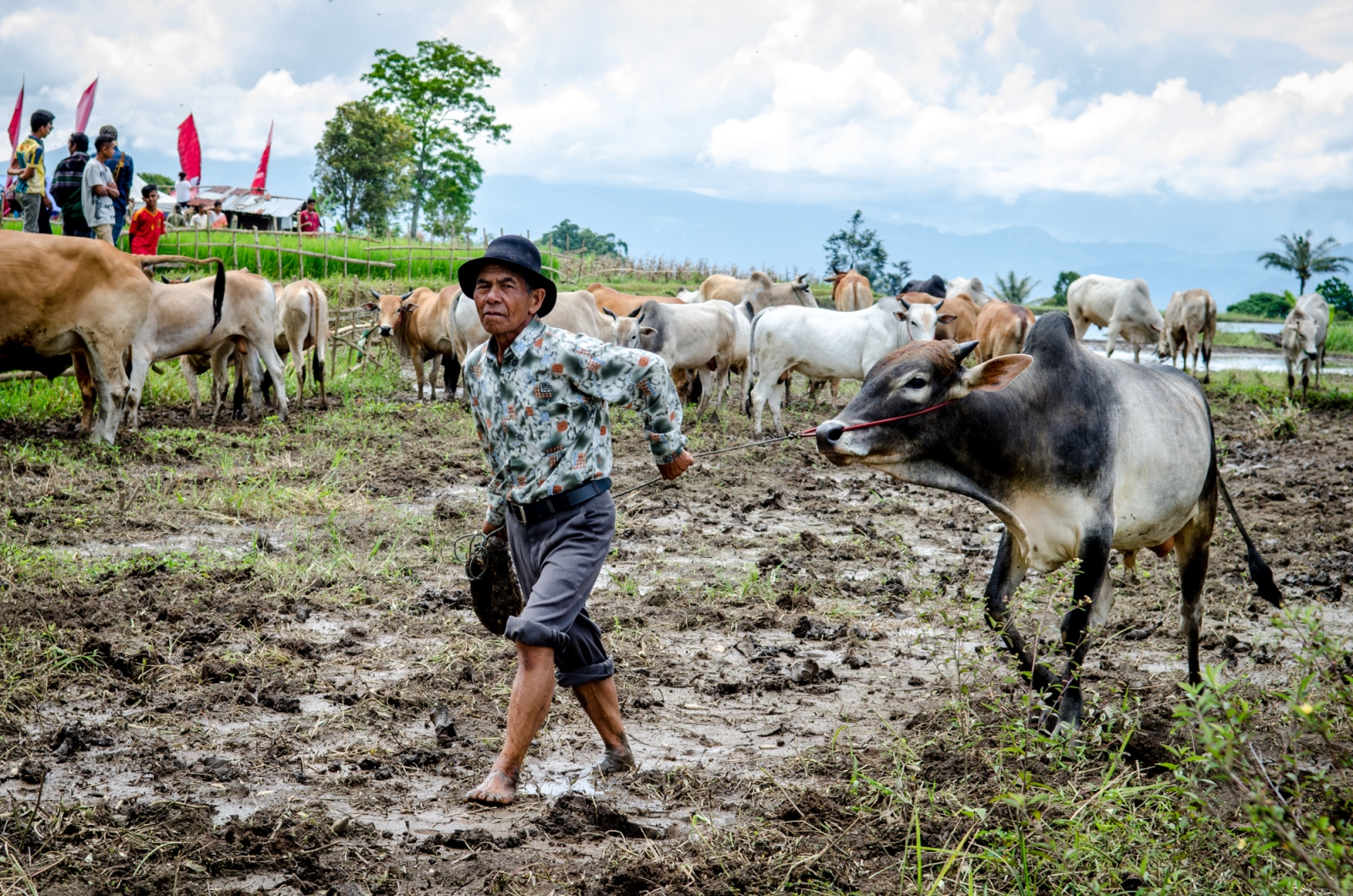 A farmer escorts one of his bulls into the waiting paddock in West Sumatra. Over 50 cattle from around the village were strutted about to get backers for the races. Both the riders and the owners can earn money from bets and buy ins on the cows that race.