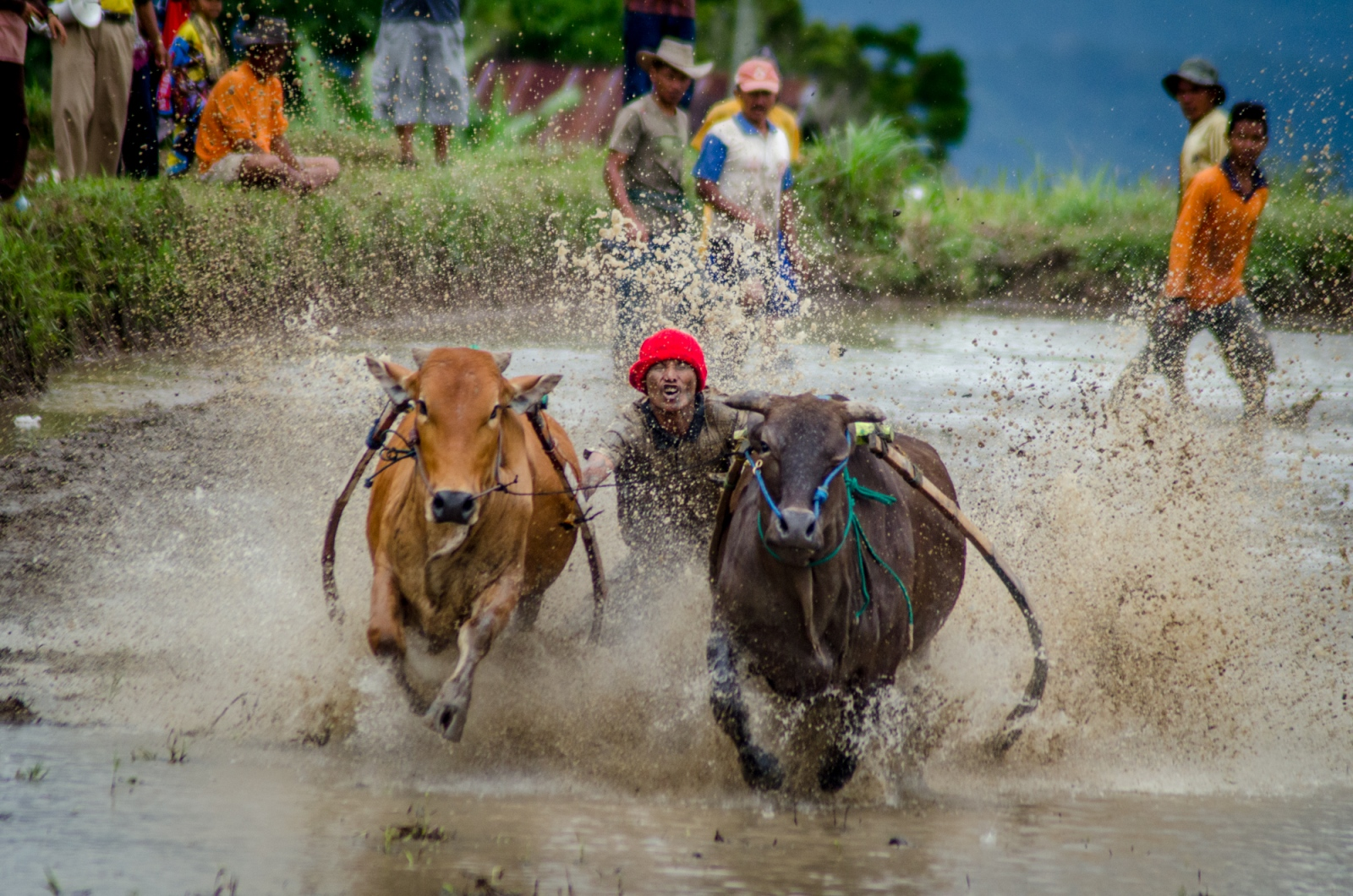 A man takes his first ride of the day, holding on to two powerful bulls by their tails, with his feet on small wooden blocks at the back of the simple wooden harnesses that drape across the backs of the stampeding cattle. The jockey's task is to stay standing behind the bulls for the longest and straightest ride, ideally lasting the entire run, which is about 80 meters long.