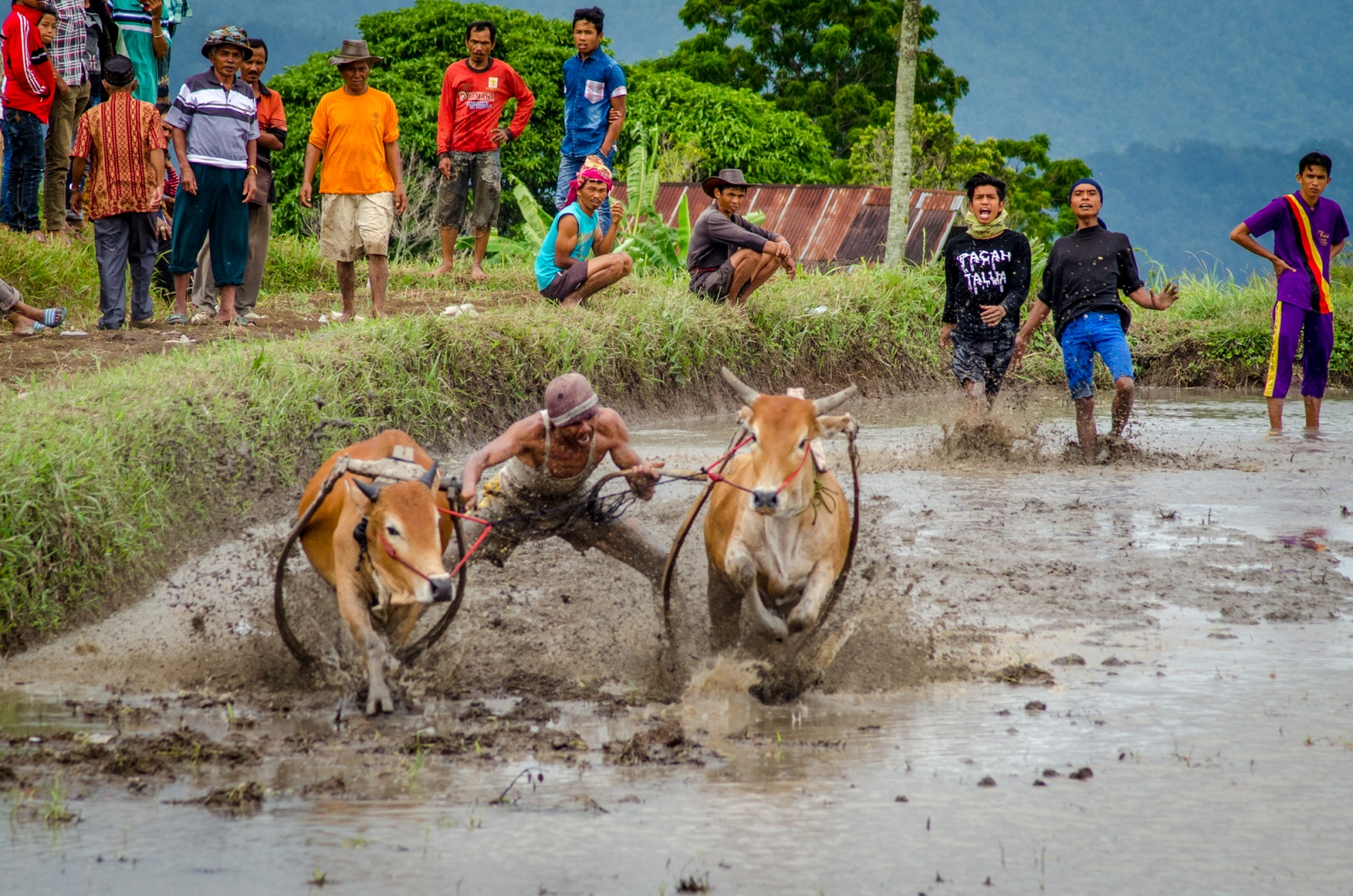 As the run begins, the jockey works to keep the bulls together, legs spread wide, as he reaches down to bite the tails, as is customary, to encourage a strong run from the powerful bulls. Fans look on as the the lap begins, hoping for a straight, fast and completed run.