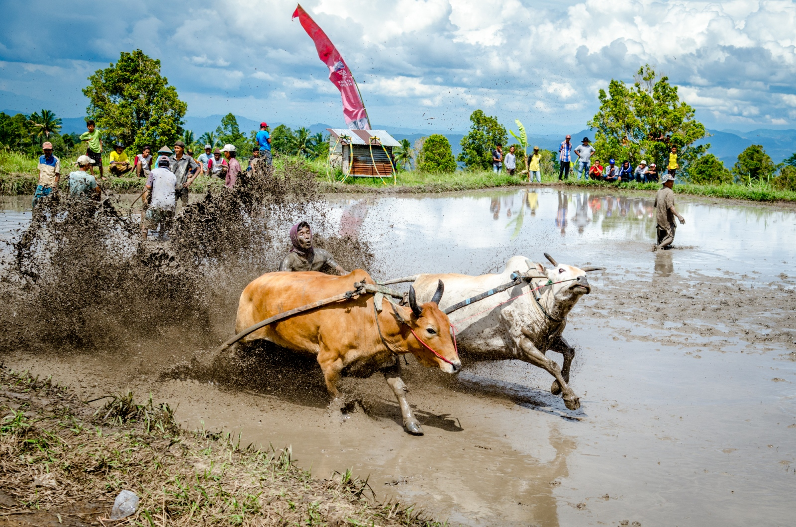 Men dive out of the way as the jockey and bulls take off for their run. The bulls are joined only by a small rope between their harnesses, and the jockey whose feet are based on their wooden harnesses they wear, and whose hands grip on to their tails as they run. In Pacu Jawi, the Indonesia bull races of West Sumatra, the aim is to run the bulls as far and as straight as possible, adding in flair when possible. The race track is a partially drained rice paddy, being cleared out after the harvest. With his feet resting on small wooden pegs, the jockey tries to keep the bulls racing forward - without losing his grip, he may alternate hands for style points and bite the tails of the bulls to drive them on. Many of the spectators have put down money on both bull pairs and jockeys, and thus everyone certainly wants a good show.