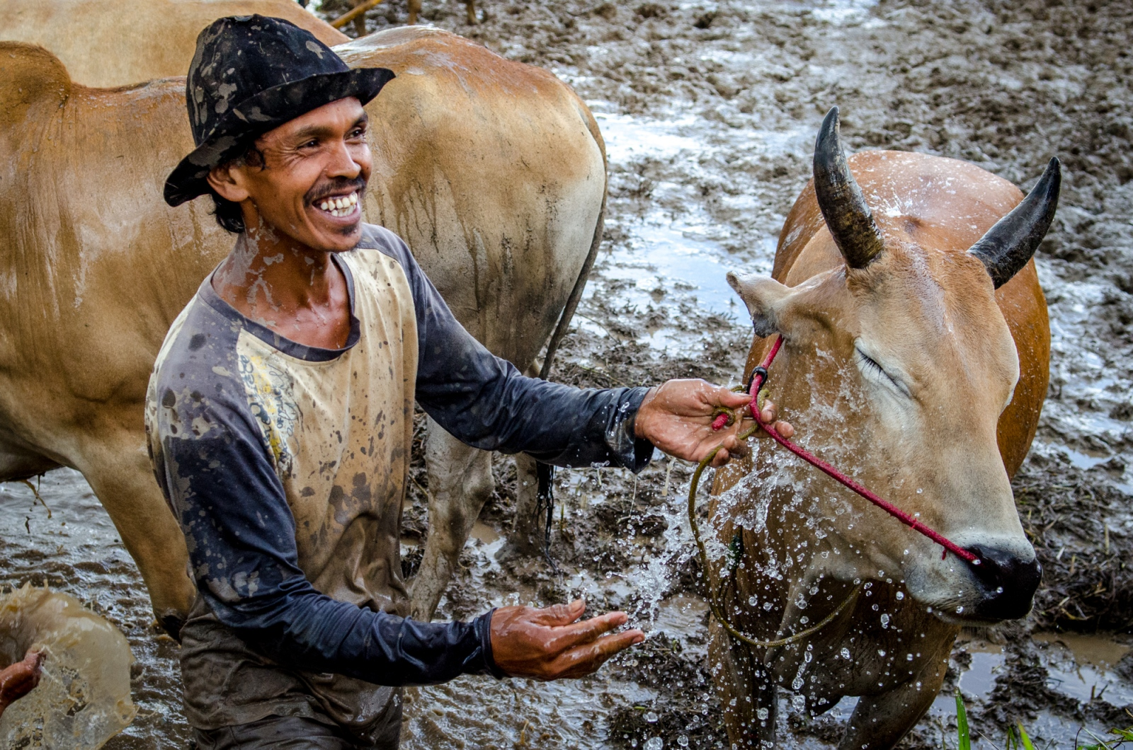 The farmers and jockeys alike take great care of the bulls and cows during Pacu Jawi, the West Sumatran bull races. After their runs down the rice paddy, the cattle are caked with mud, but briskly herded over to the freshwater streaming down from Mount Marapi. Normally used to irrigate the agricultural property, it acts as a perfect bathing station during the muddy event.