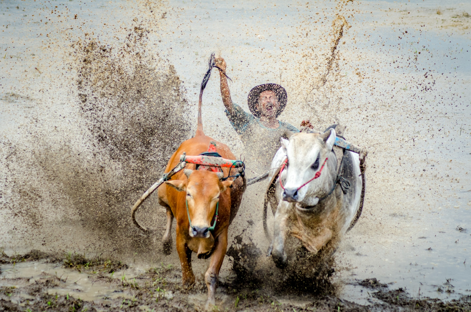A jockey flails as he falls from behind two powerful, speeding bulls in the West Sumatran bull races, Pacu Jawi. This Indonesian tradition brings communities together at the end of a harvest season to race bulls, going for flair and time upright. This messy tradition also happens to help turn the fields for the host farmers.