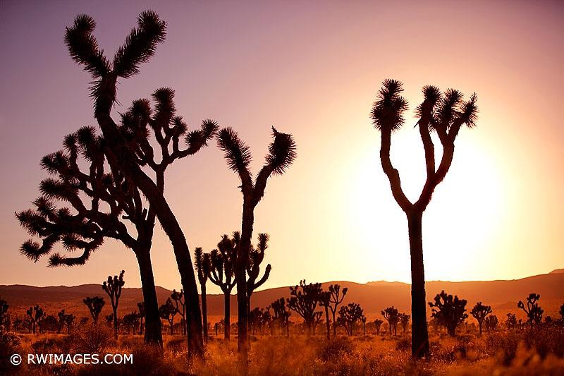 Art and Documentary Photography - Loading 1210190009_JOSHUA_TREE_CALIFORNIA_X_original.jpg