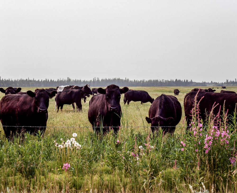 Cows in Delta Junction, Alaska. Due to several large fires in nearby, the sky is filled with smog.