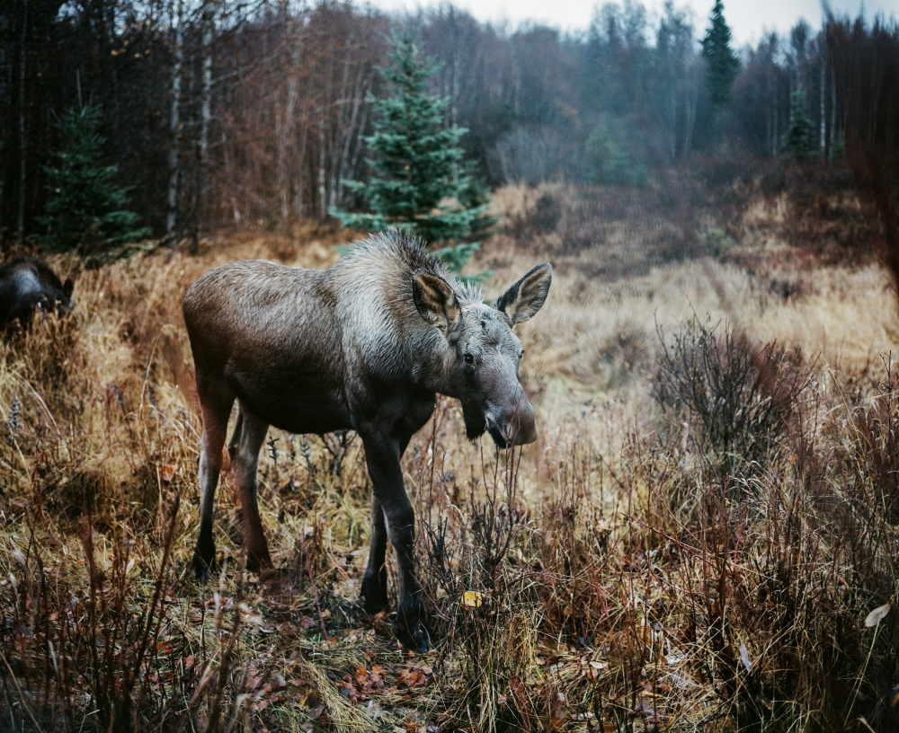 A baby moose in Kincaid Park in Anchorage, Alaska.