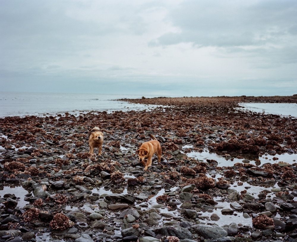 "Ann Evans' dogs walk on the reef off of the coast of Nanwalek. The traditional saying goes, ""When the tide is out, the table is set,"" and Evans and her family abides by this tradition and head to the reef at low tide to harvest bidarki, octopus, and seaweed greens."