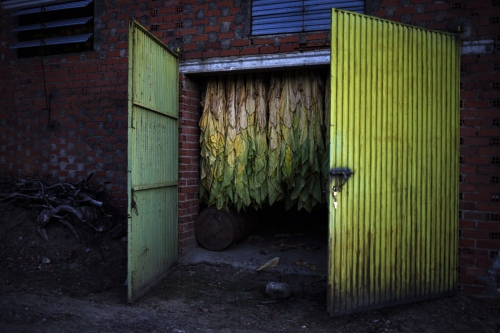 Black tobacco is originally from Kentucky (US), is the second most cultivated variety in the planet, because of its use in the aromatic industry, but it has hardly any demand among consumers, its production in Spain Is reduced to 50%. Also because there are other countries in the market  without regulation, tax advantages and illegalities, that sell it at lower prices.