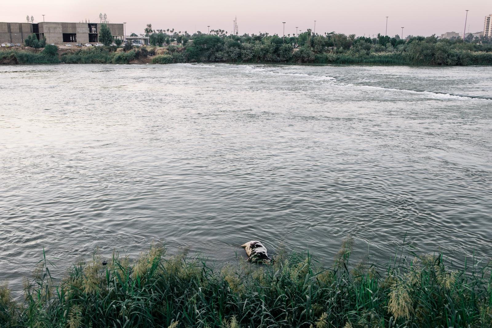 Dead Cow in Karoun River.Ahvaz, Iran.2016