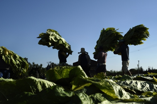 In Spain, the culture of tobacco is represented in Extremadura with more than 95% of national production. Thousands of families lives by this plant but the number has been reduced by the power of lobbies, new varieties and mechanical processes. It has moved from several thousands producers in the community since decades, to just 3,000 today.