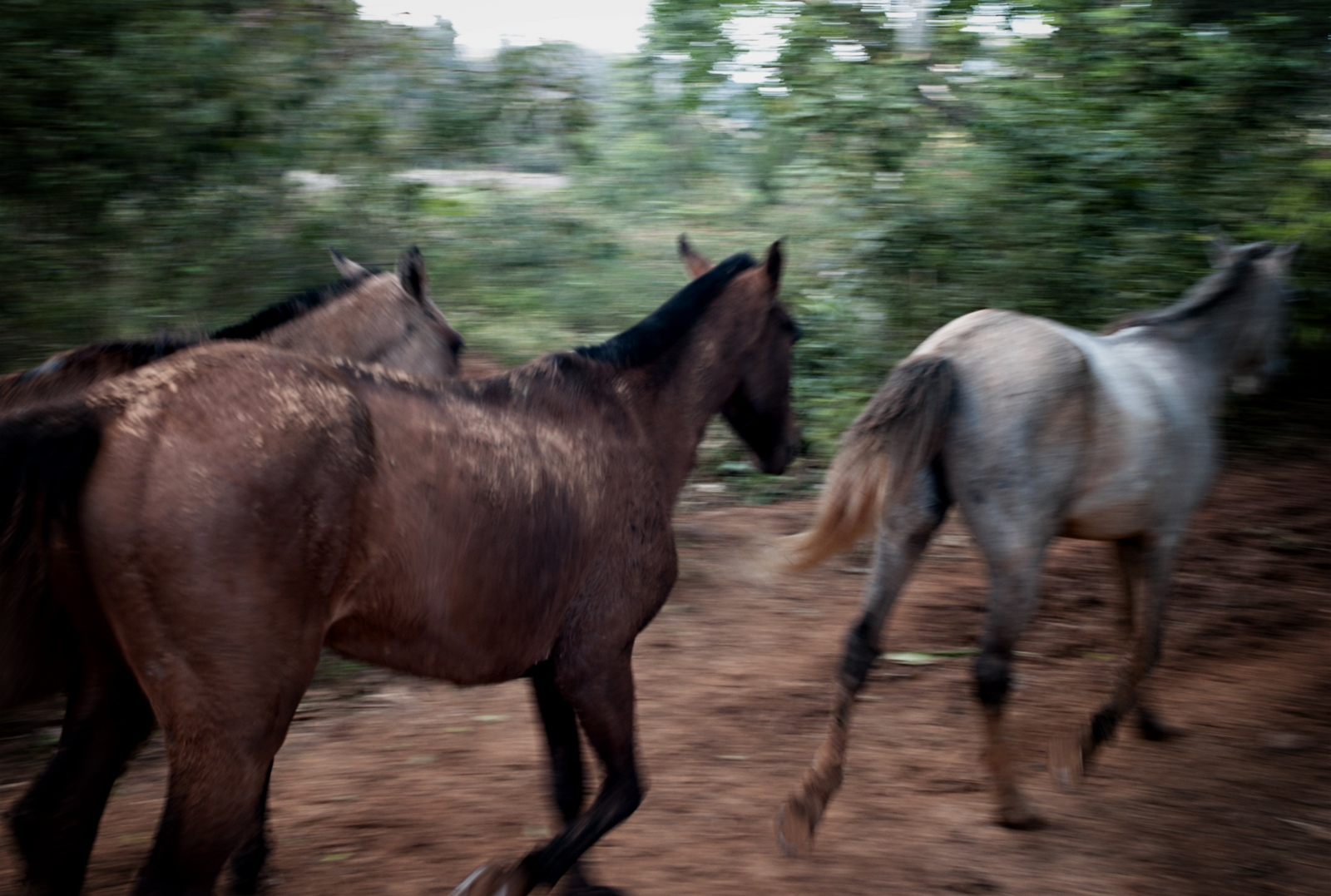 A herd of horses run through a trail in the tobacco fields in Vinales, a farming village two hour drive from Havana.