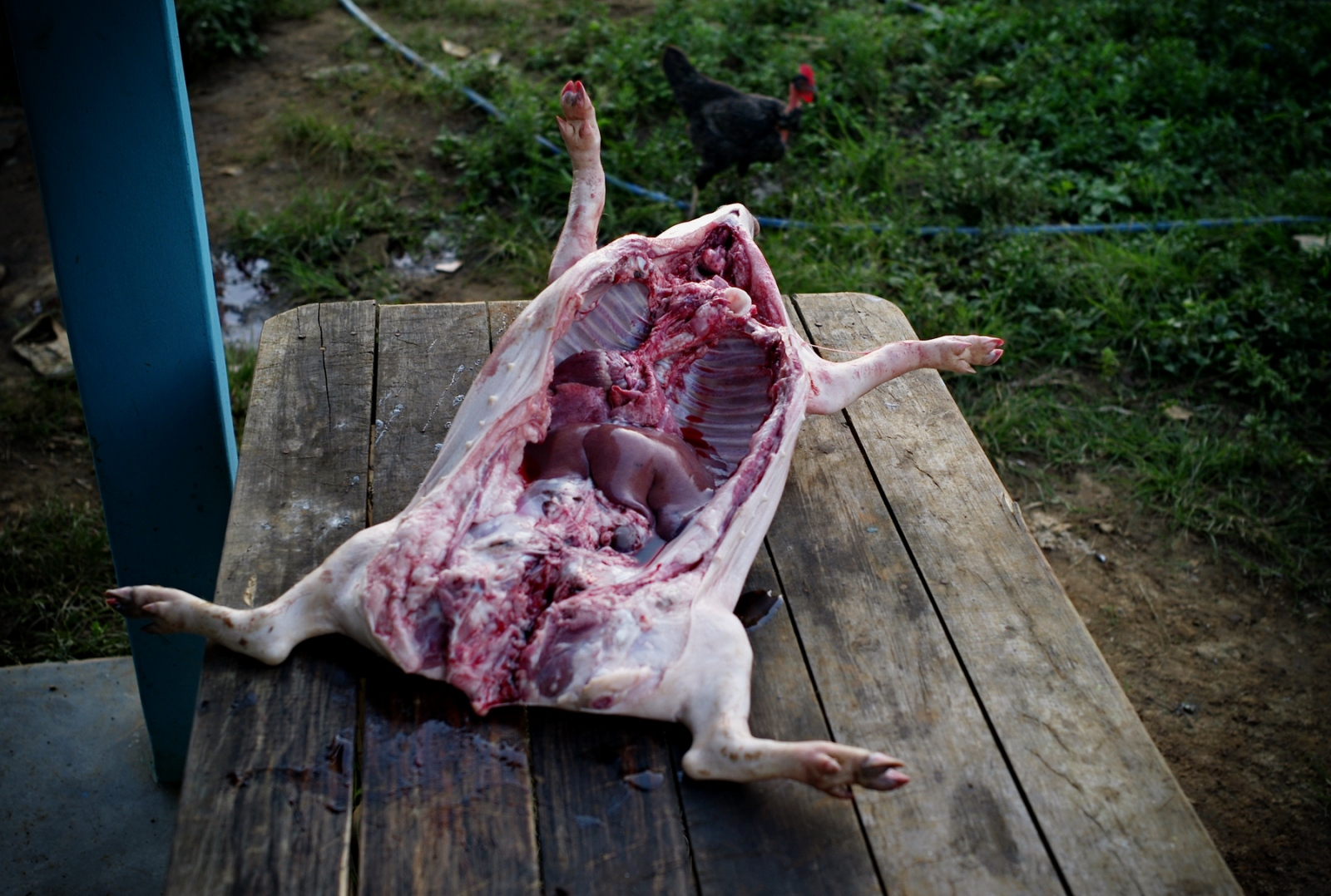 A freshly slaughtered pig is preparedis slunch for the tobacco farmersin Vinales - farming village two hours drive from Havana.