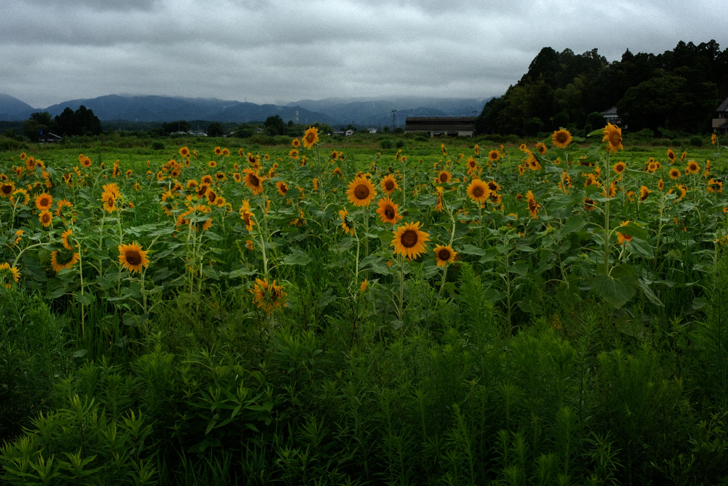 Sun flowers on the garden which Norio Kimura(52) created at his former home inside exclusion zone in Fukushima. His former home is about 4KM south of strcken nuclear power plant.