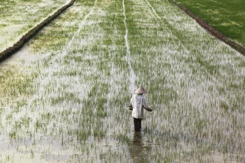 A Vietnamese farmer drops fertilizer on her paddy field in Central Vietnam near the cuty of Hue.