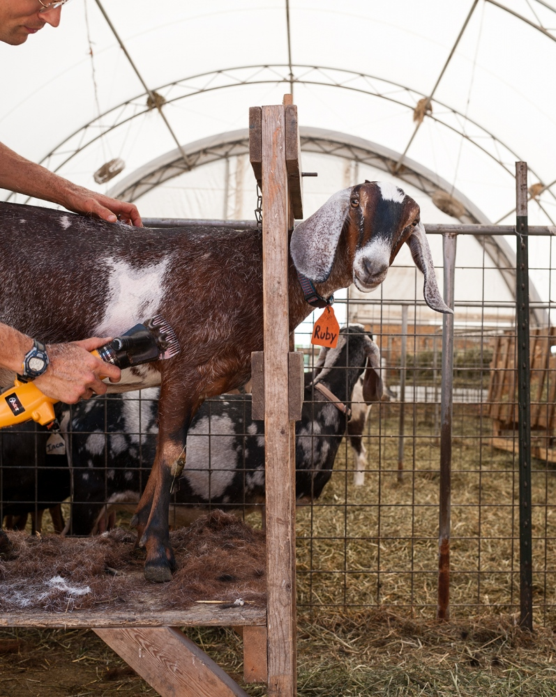 Prairie Fruits Farm in Illinois, keeps their goats comfortable in the midwestern heat, by giving them summer haircuts.