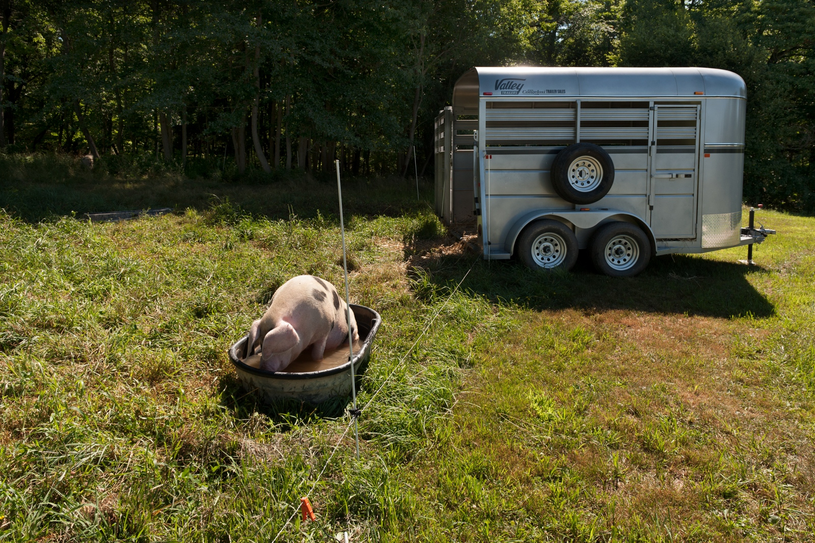 A Gloucesershire Old Spot, cools off on a hot summer day. A trailer is placed in the pasture, so that pigs become accustomed to it before being transported to slaughter.
