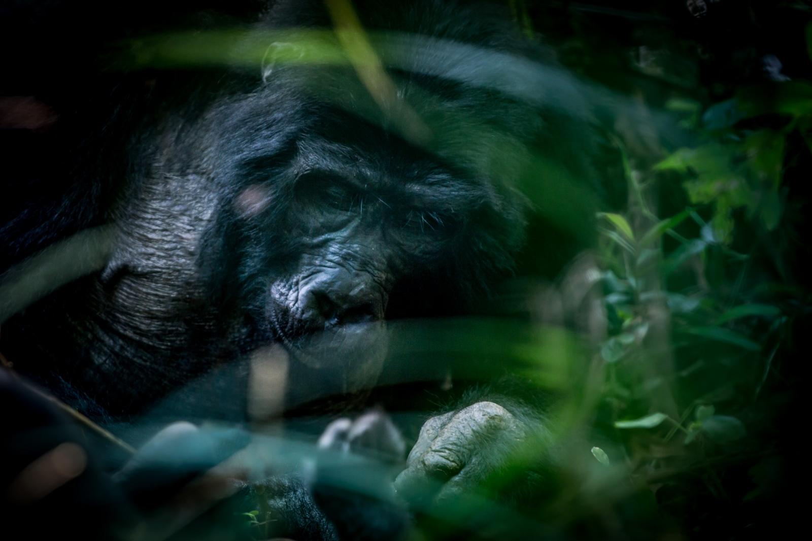 Gorilla. Biwindi National Park, Uganda.
