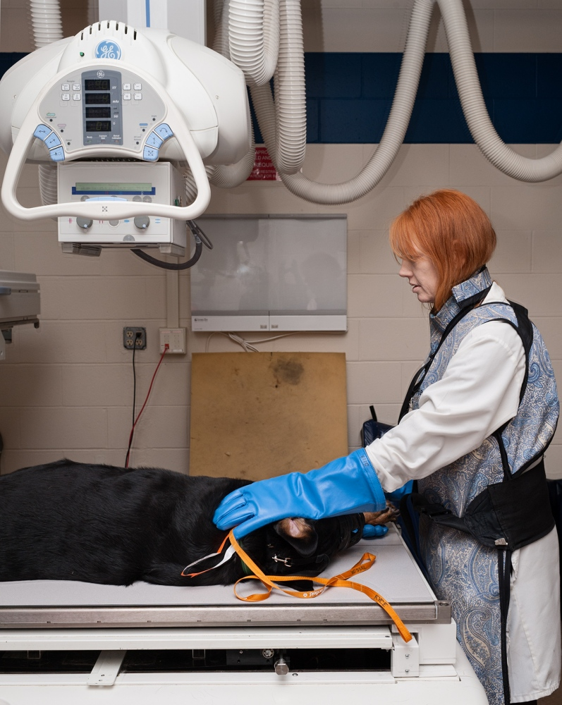 A Rottweiller with bone cancer, undergoing an x-ray to see if cancer has spread to his lungs.