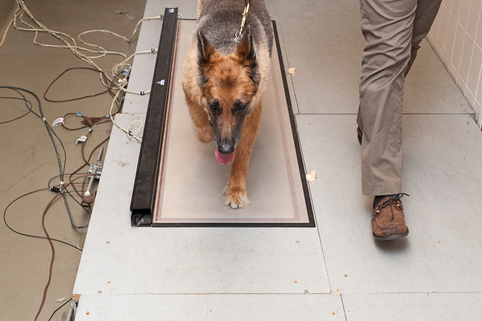 A German Shepherd takes a walk on a Tek Scan-a computerized gait analysis that monitors whether her bone pain is being controlled effectively. The device measures how well a dog is able to use the affected leg following therapy.