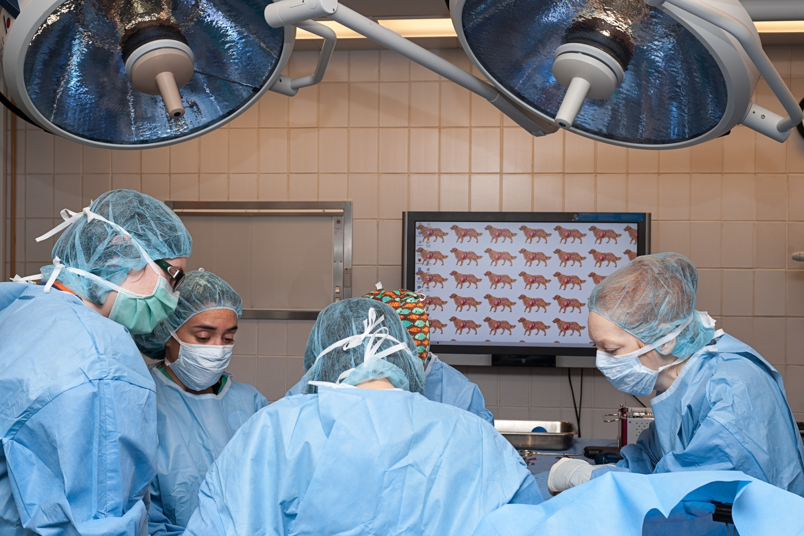 Surgeons removing a segment of bone, from the front leg of a dog with bone cancer.