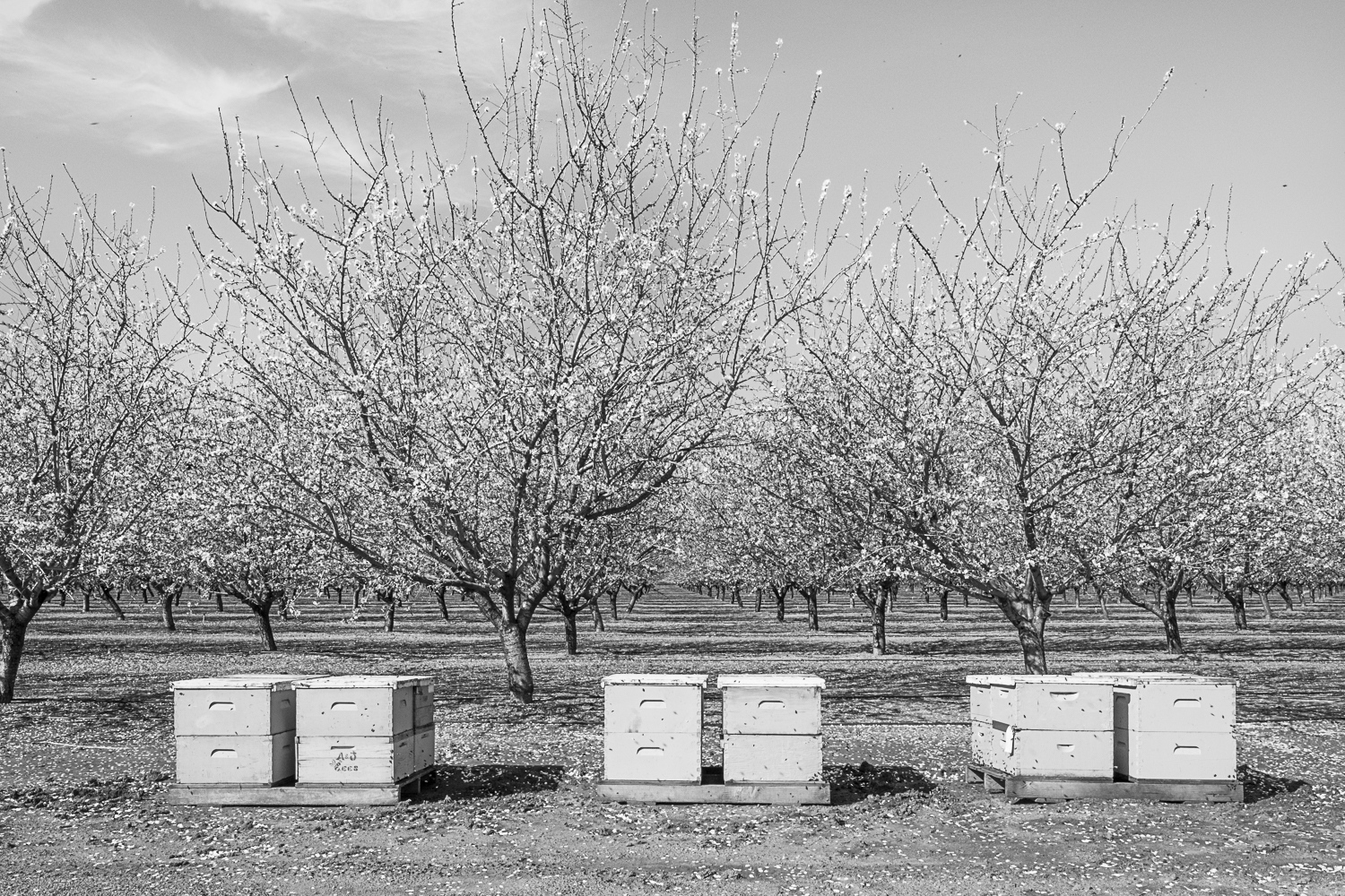 Bees and Almonds 2017