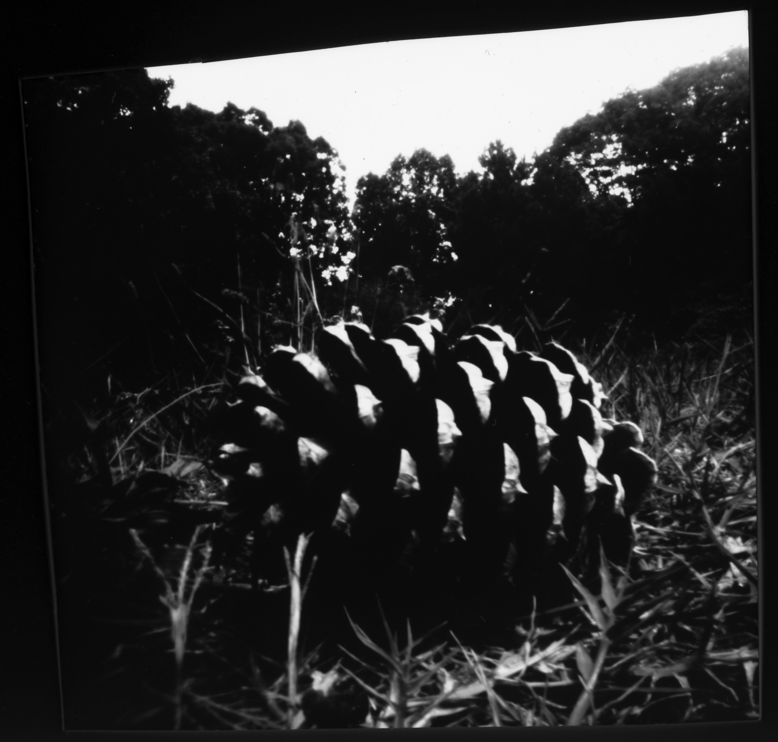 Art and Documentary Photography - Loading 7.18.17pinecone2posi.jpg