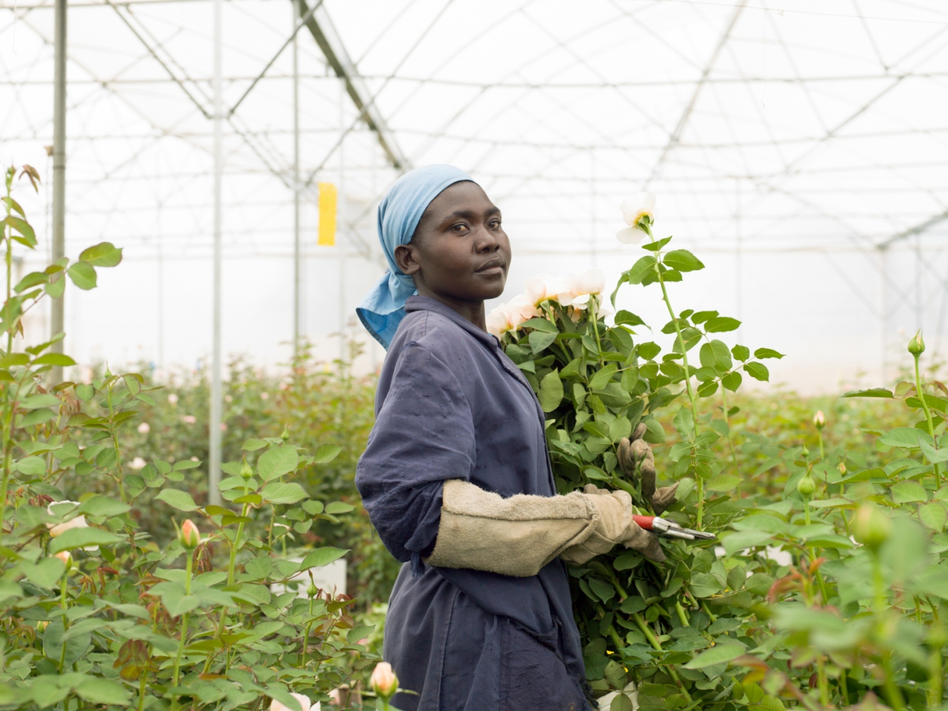 Kenya has perfect conditions for growing roses....