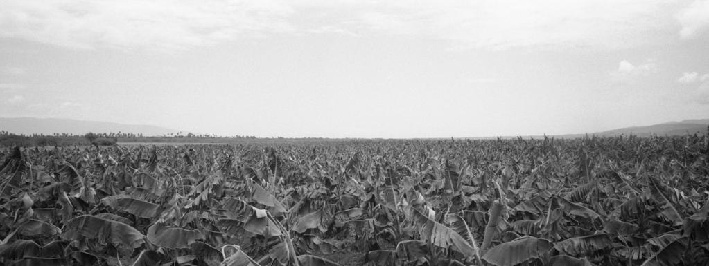 47,000 productores de plátano 50,000 hectáreas de producción 100% autoabastecimiento del mercado local 20% para comercio exterior US$3,3MM de exportación 6MM de unidades al día son consumidas en RD 2,000MM al año 300 per capita: casi UNO diario --- 7,000 banana producers 50,000 hectares of production 100% self-supply of 20% local market for foreign trade US $ 3.3MM export 6MM of units to the day are consumed in RD 2,000MM per year 300 per capita: almost ONE daily