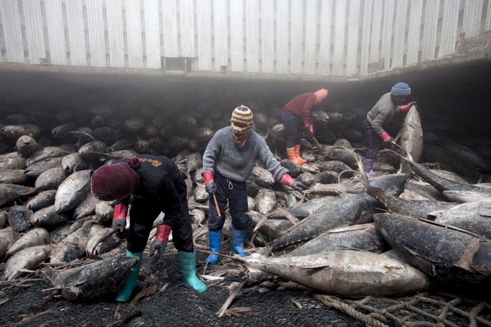 Thai workers pull tuna into nets in the hold, where the temperature is minus 22 degrees Celsius. The large ship is docked just outside Bangkok and will spend one week unloading hundres of tonnes of tuna. Each frozen skipjack carcass weighs about 40 kilograms (88 pounds); one ton of skipjack fetches about $1,600 on the wholesale market.