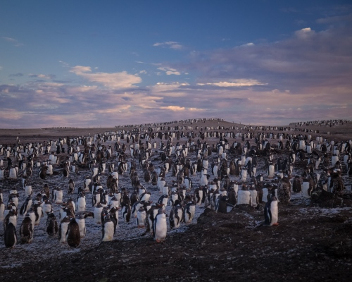 Sunrise over a colony of gentoo penguins on Saunders Island, Falkland Islands.