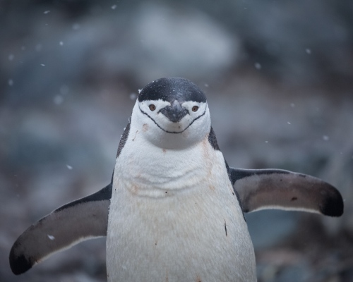 A chinstrap penguin makes its way to the ocean from its nest on Half Moon Island, in the South Shetland Islands.