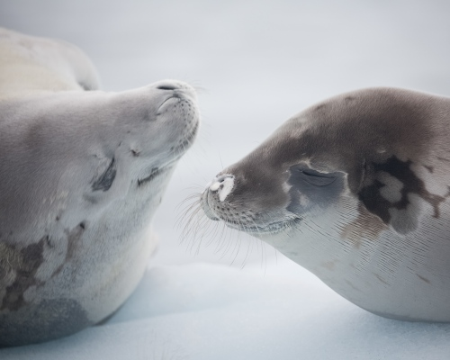 Two crabeater seals rest on an ice floe near Danco Island, Antarctica.