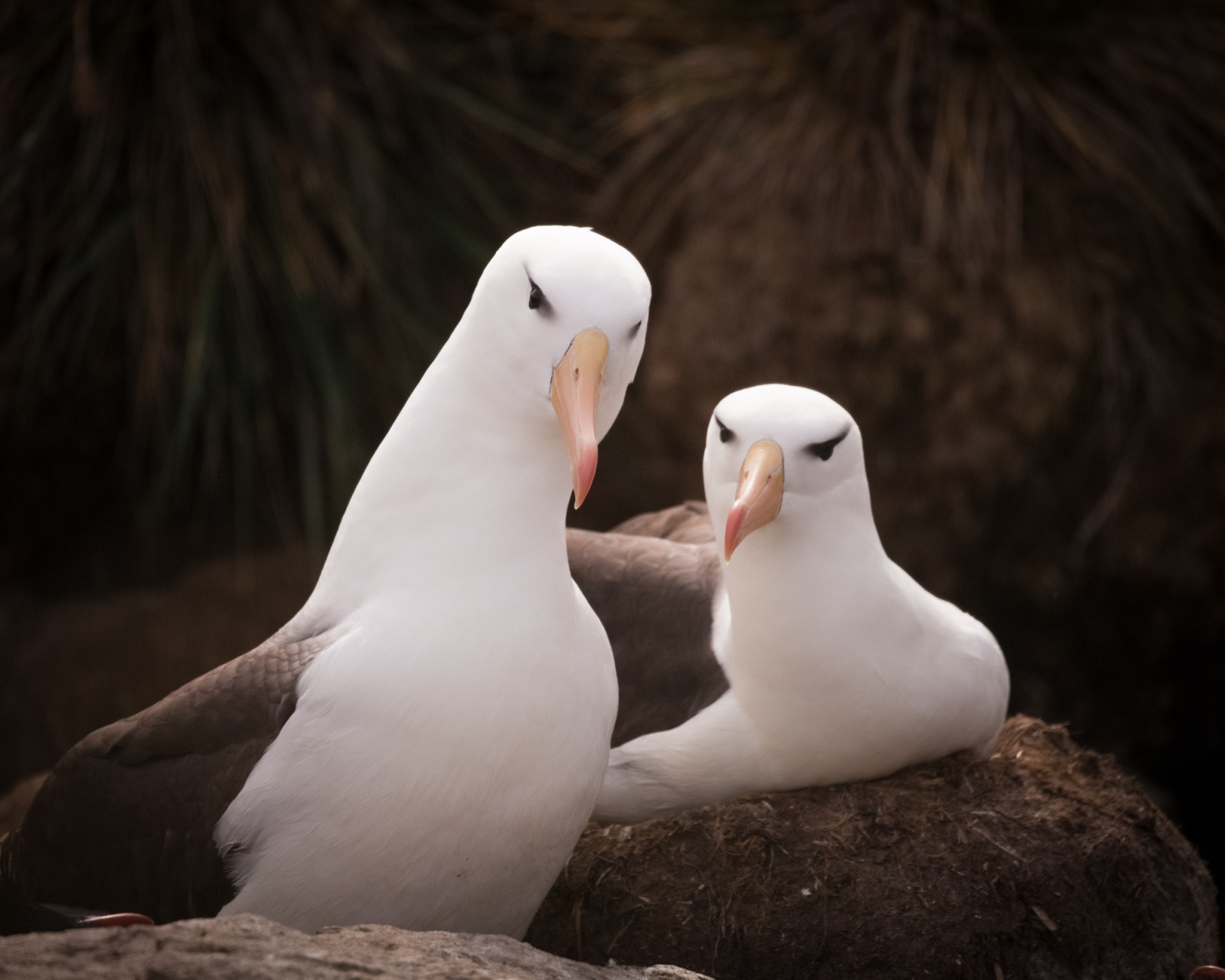 A pair of nesting black-backed albatross in their colony on West Point Island in the Falkland Islands.