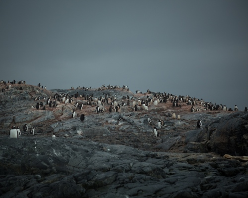 Late in the breeding season,gentoo penguin chicks scatter across an island in Pleneau Bay, Antarctica.