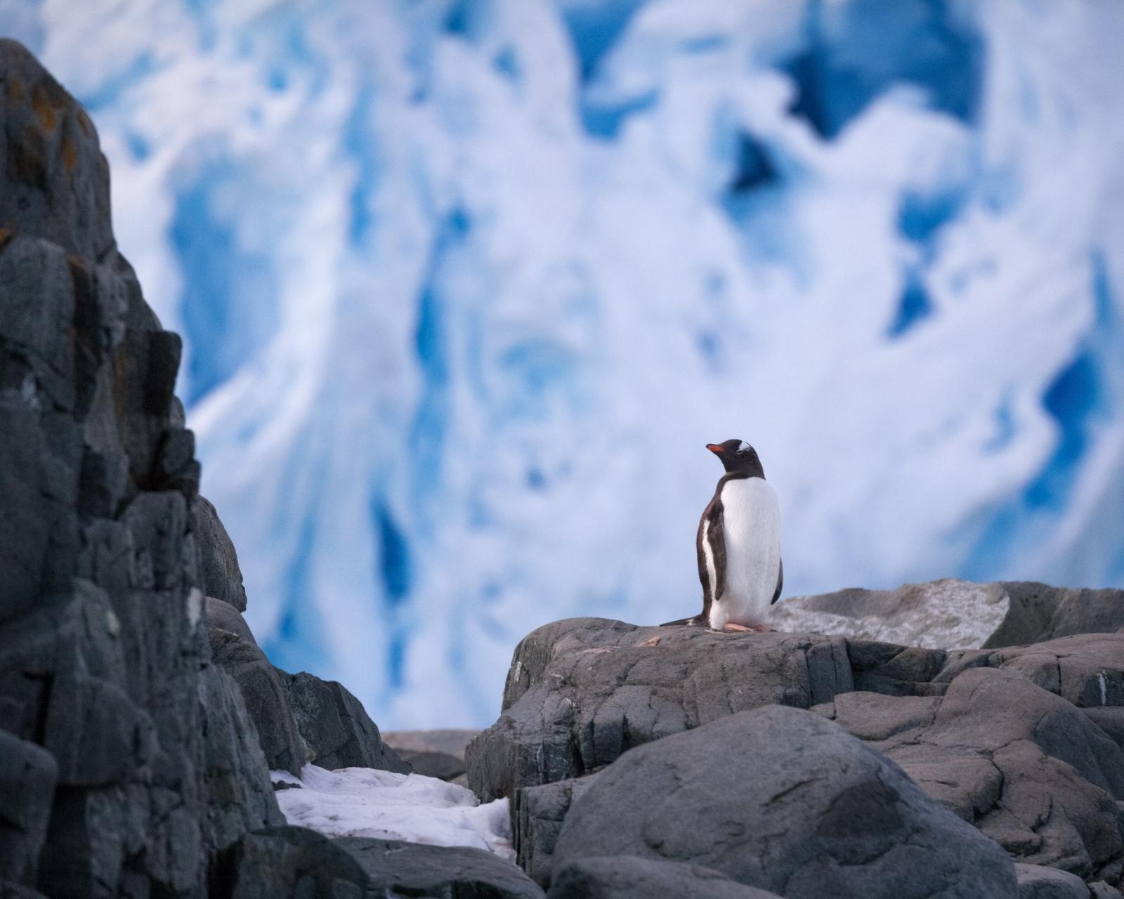 A gentoo penguin on Trinity Island, Antarctica.