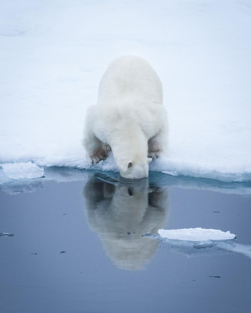 A polar bear on the pack ice near Svalbard, 2017.